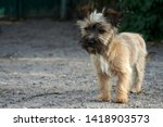 the little shaggy red dog | Shutterstock . vector #1418903573