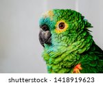 Portrait Of Parrot With Gray...