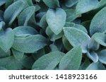 Leaves Of Lamb's Ear Plants...
