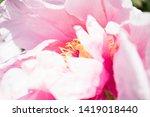 pink peony flower. close up... | Shutterstock . vector #1419018440