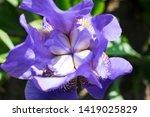 colorful violet iris flower... | Shutterstock . vector #1419025829