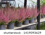 blooming heather calluna in...