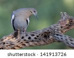 Small photo of White-winged Dove