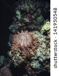 Small photo of SUDAN, Red Sea, U.W. photo, tropical Sea Urchin (Acanthaster planci) - FILM SCAN
