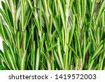 Fresh Green Sprig Of Rosemary....