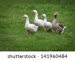 domestic geese on a walk... | Shutterstock . vector #141960484