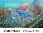 Live Blue Crayfish Shrimp In...