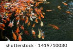 group of colorful fancy carp... | Shutterstock . vector #1419710030