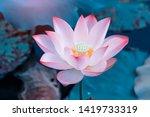 Pink Lotus Flower Plants In...