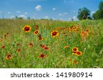 Wild Field With Indian Blanket...
