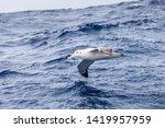 wandering albatross gliding at... | Shutterstock . vector #1419957959
