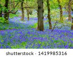 Beautiful Bluebells In The...