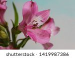 Close Up Alstroemeria Flower ...