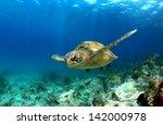 Green Sea Turtle Swimming...