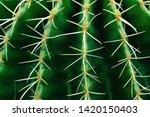 cactus close green succulent...   Shutterstock . vector #1420150403