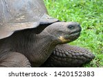 Stock photo a galapagos turtle gal pagos giant tortoise is the largest living species of tortoise modern gal 1420152383