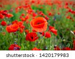 rural poppy field. in a meadow  | Shutterstock . vector #1420179983