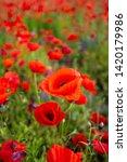 rural poppy field. in a meadow  | Shutterstock . vector #1420179986
