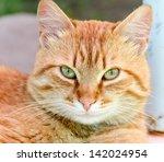 Ginger cat - stock photo