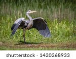 Small photo of Heron Fighting pose after altercation with another wild Heron