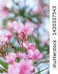 blooming pink oleander flowers...   Shutterstock . vector #1420337543