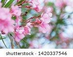 blooming pink oleander flowers...   Shutterstock . vector #1420337546
