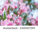 blooming pink oleander flowers...   Shutterstock . vector #1420337549