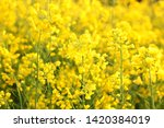 Scenic rural landscape with yellow rape, rapeseed or canola field. Rapeseed field, Blooming canola flowers close up. Rape on the field in summer. Bright Yellow rapeseed oil. Flowering rapeseed