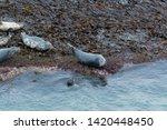 A Pod Of Seals Off The East...