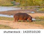 A Hippopotamus Grazing Next To...