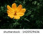blooming yellow flower in... | Shutterstock . vector #1420529636