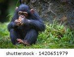 Adult Chimpanzee Sitting...