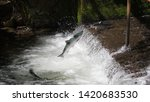 Single Red Salmon (Sockeye) intent on spawning by leaping from the stream to go up the waterfall of the fish weir of Bear Creek at Seward Alaska in dappled light