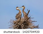 Two Great Blue Heron Chicks In...