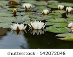 Water Lily On The Small Lake