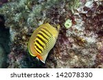 Spot Banded Butterflyfish ...