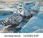 Snowy Owl  Bubo Scandiacus  At...