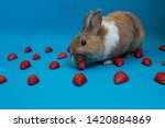 Stock photo cute rabbit bunny on blue solid screen with fruits eating strawberry 1420884869