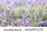 lavender field in provence.... | Shutterstock . vector #1420997270