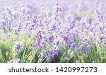 lavender field in provence.... | Shutterstock . vector #1420997273
