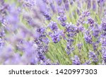 lavender field in provence.... | Shutterstock . vector #1420997303