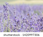 lavender field in provence.... | Shutterstock . vector #1420997306