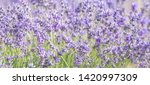 lavender field in provence.... | Shutterstock . vector #1420997309