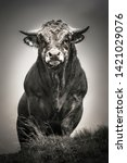 """Small photo of """"Hector"""" the bull of Aubrac"""