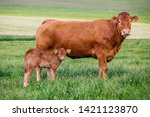 Limousin Cattle Breed. Cow Wit...