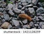 shaggy caterpillar creeps on... | Shutterstock . vector #1421128259