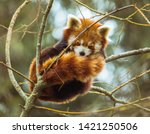 Red panda sleeping on tree cute ...