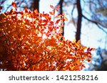 red leaves and morning light | Shutterstock . vector #1421258216