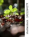 growing plant in garden with... | Shutterstock . vector #1421264279
