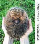 hedgehog is a ball in hand | Shutterstock . vector #1421304029